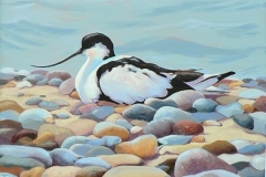 Avocet on Shingle